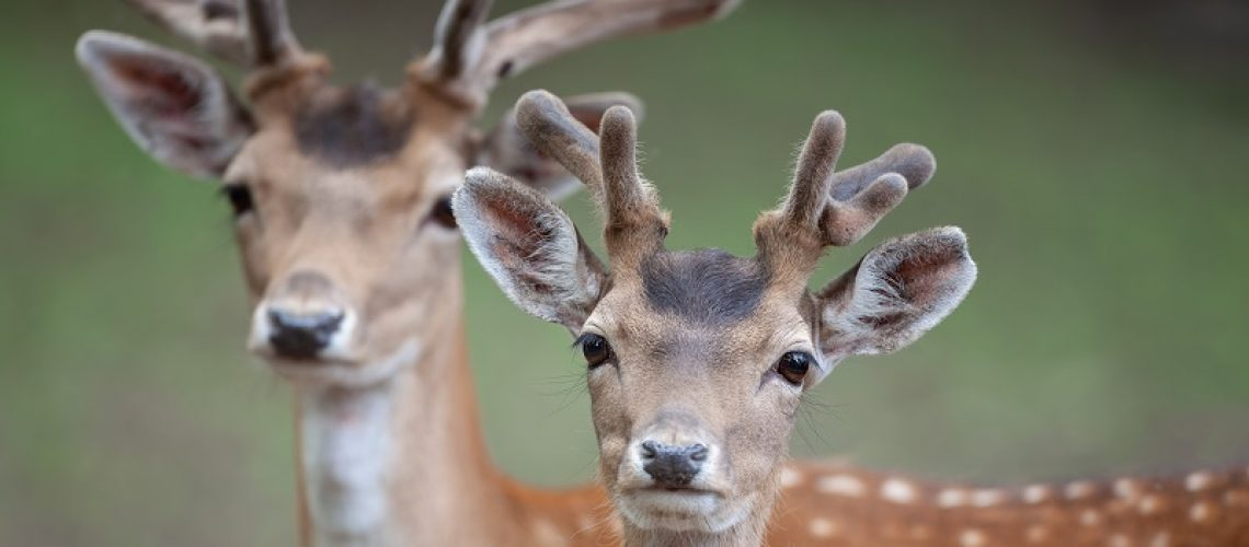 Portrait of two male fallow deer (Dama dama) with growing antlers in june. Velvet covers a growing antler, providing blood flow that supplies oxygen and nutrients.
